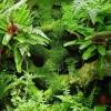 "Vesicularia dubyana ""musgo de java"""