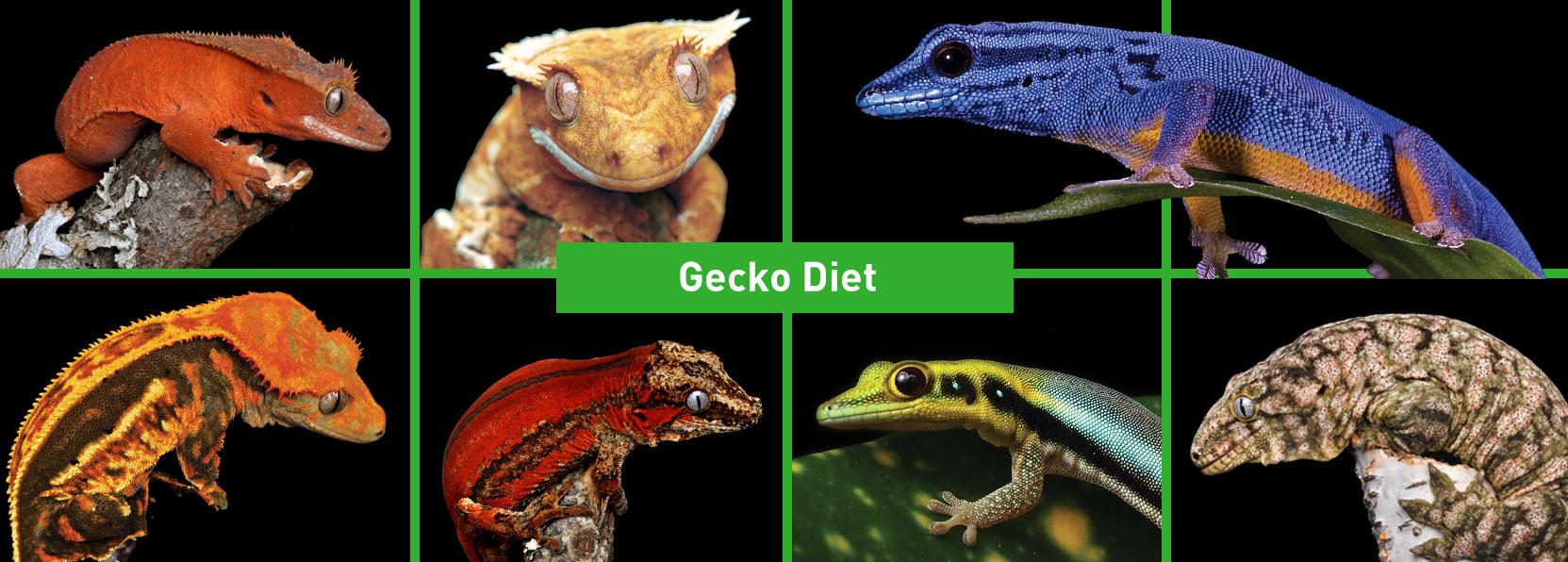 Gecko-Diets-Products-banner_m5cd-ik