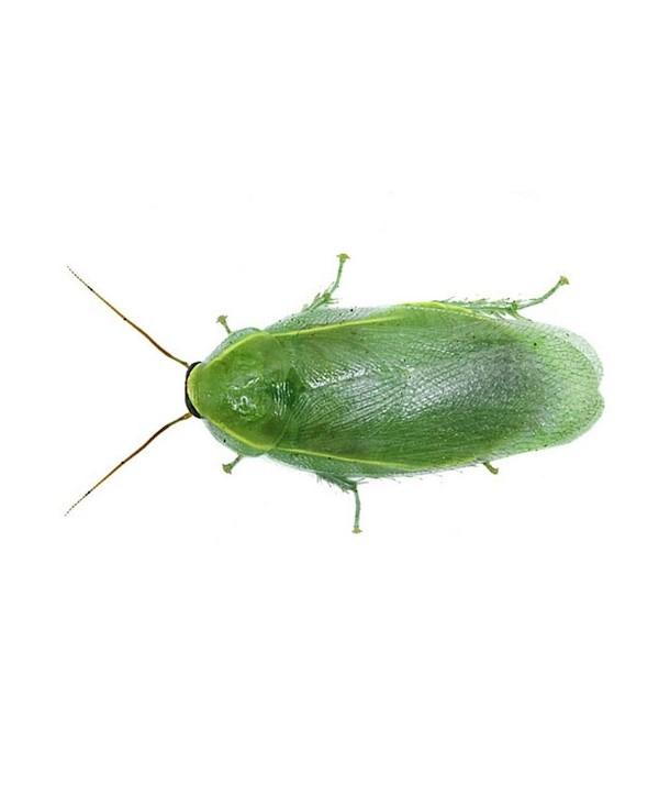 "Panchlora nivea ""Cucaracha verde Cubana"""