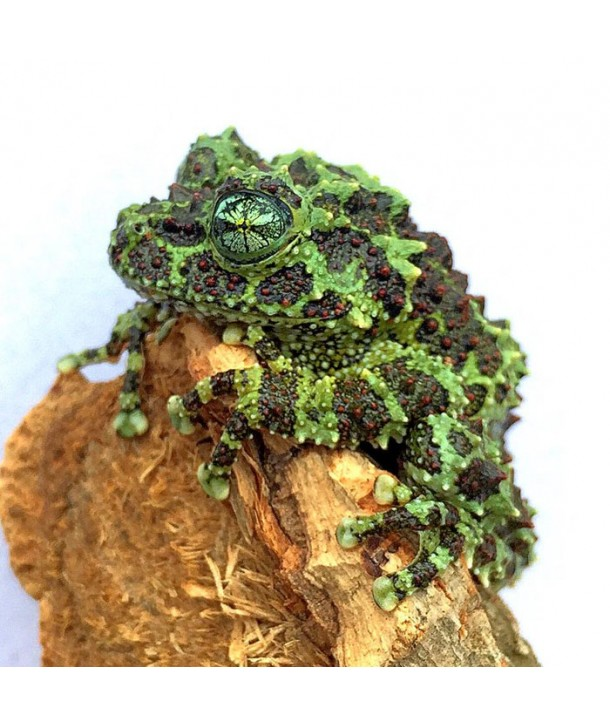 Theloderma corticale CB 2018